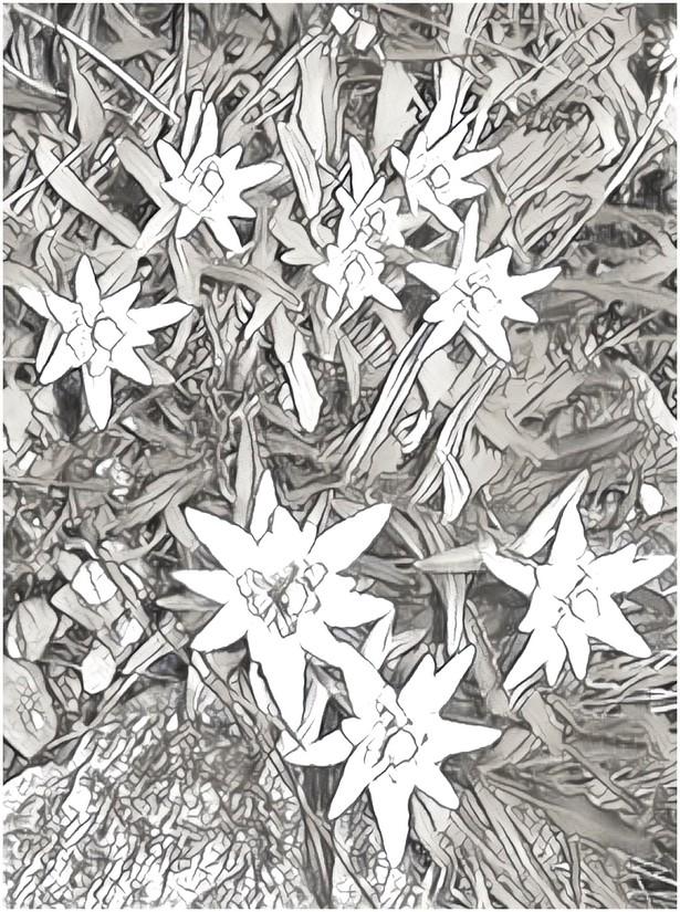 Top Disegno da colorare Montagna : Stella alpina 9 LZ06