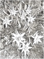 Art Therapy coloring page Edelweiss